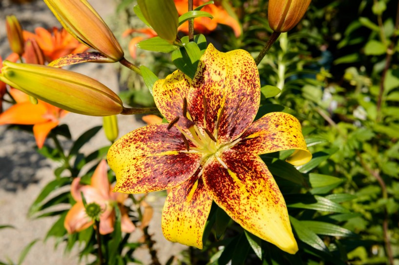 UBC Botanical Garden Yellow Lily