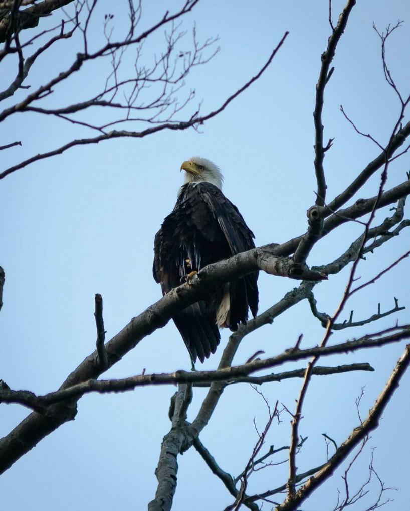 Acadia-Beach : 2012-07-10 : Bald Eagle