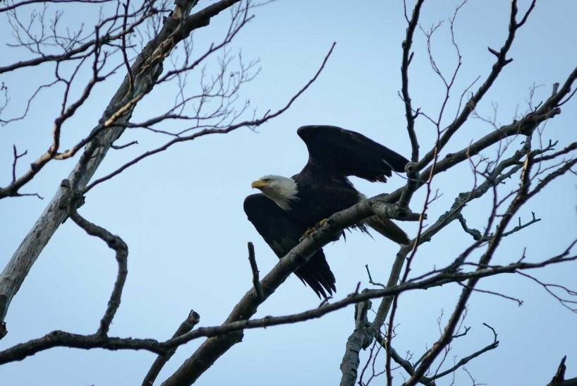 Acadia-Beach : 2012-07-10 : Bald Eagle 3