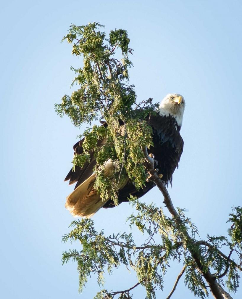 Acadia-Beach : 2012-07-10 : Bald Eagle 5