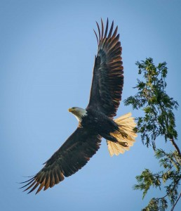 Acadia-Beach : 2012-07-10 : Bald Eagle 6