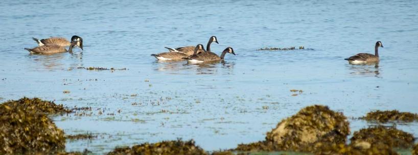 Acadia-Beach : 2012-07-10 : Geese