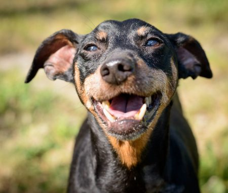 Vancouver Shelter Dogs : 2012-07-14: Min Pin 1
