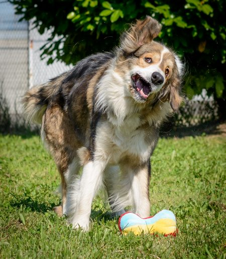 Vancouver Shelter Dogs : 2012-07-14: Fluffy Giant Shake 2