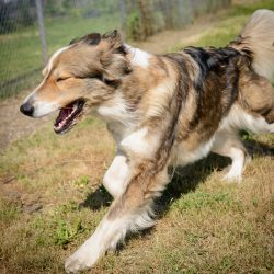 Vancouver Shelter Dogs : 2012-07-14: Fluffy Giant 3