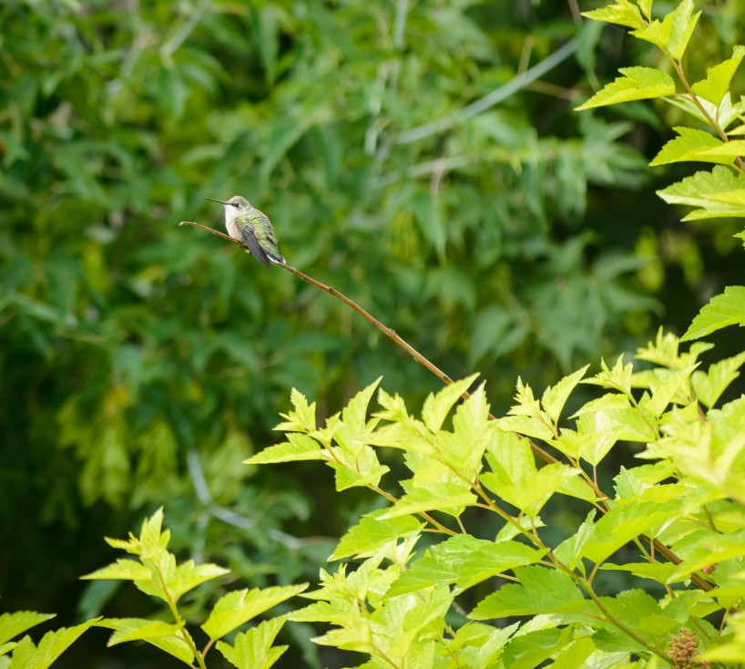 Alberta Visit Aug 2012 : Ruby-throated Hummingbird on Branch