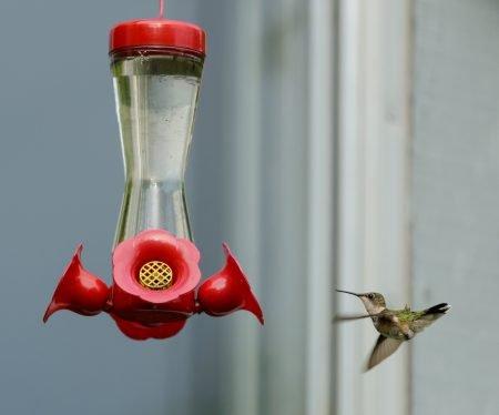 Alberta Visit Aug 2012 : Ruby-throated Hummingbird at Feeder