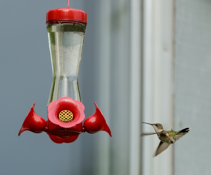 Alberta Visit Aug 2012 : Ruby-throated Hummingbird at Feeder