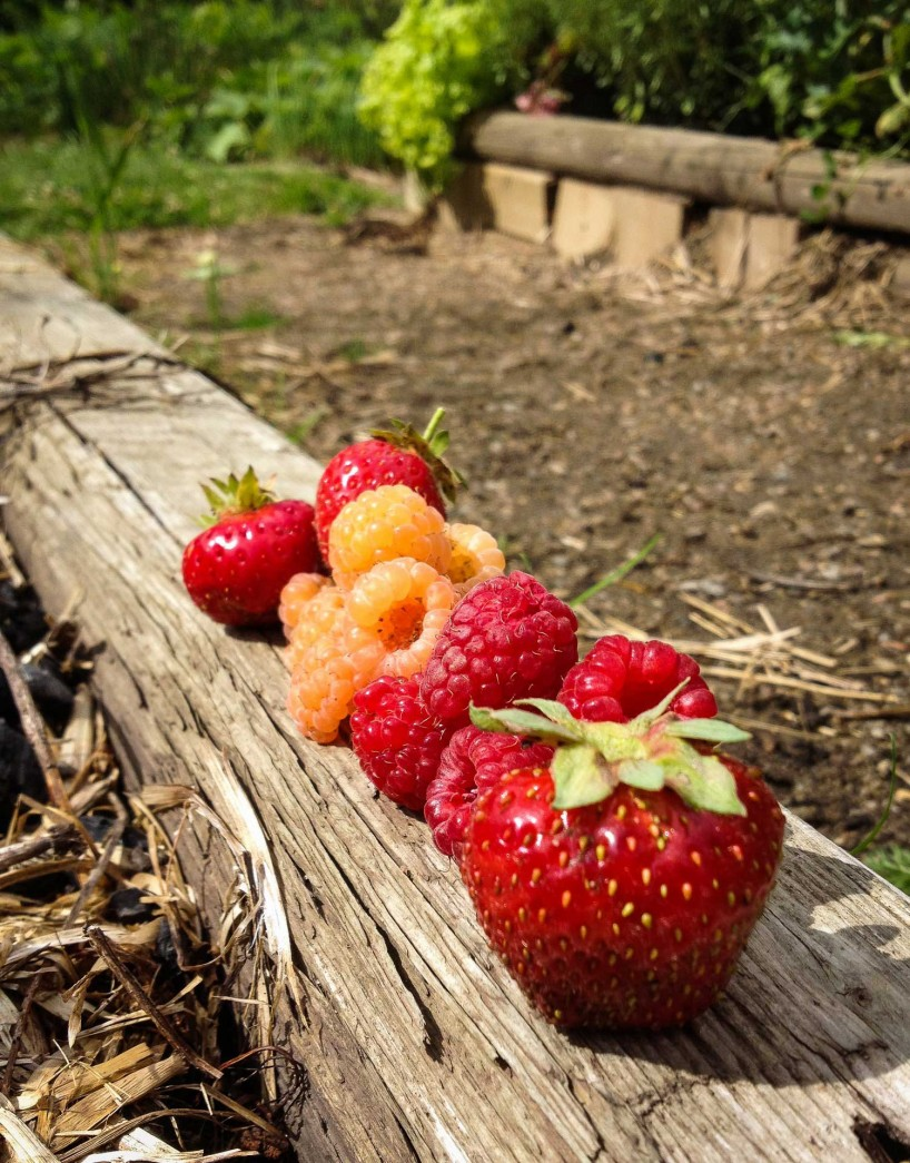 Alberta Visit Aug 2012 - strawberries and raspberries