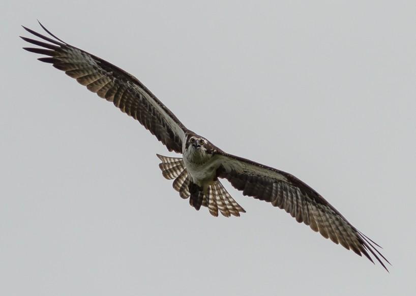 Alberta Visit Aug 2012 : Osprey in Flight