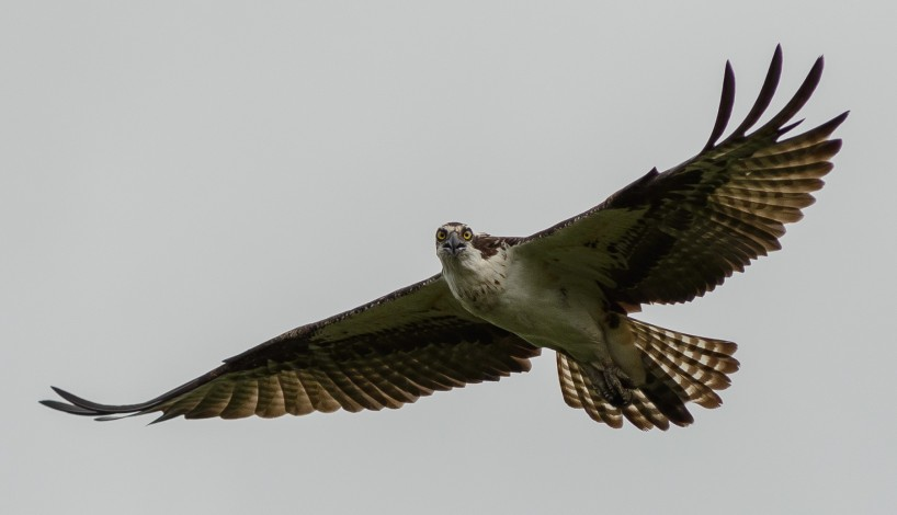 Alberta Visit Aug 2012 : Osprey in Flight 2