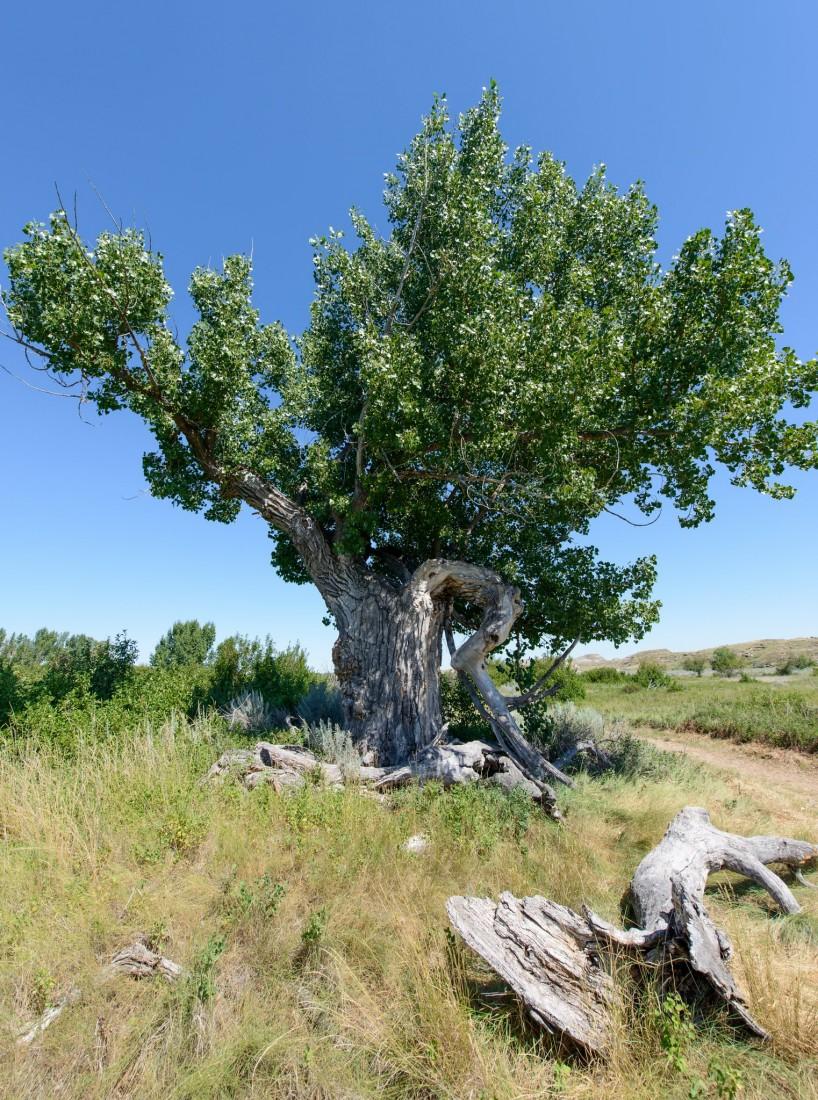 Alberta Visit Aug 2012 : Dinosaur Provincial Park Cottonwood Tree