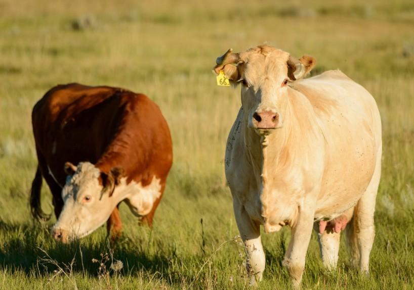 Alberta Visit Aug 2012 : Cows