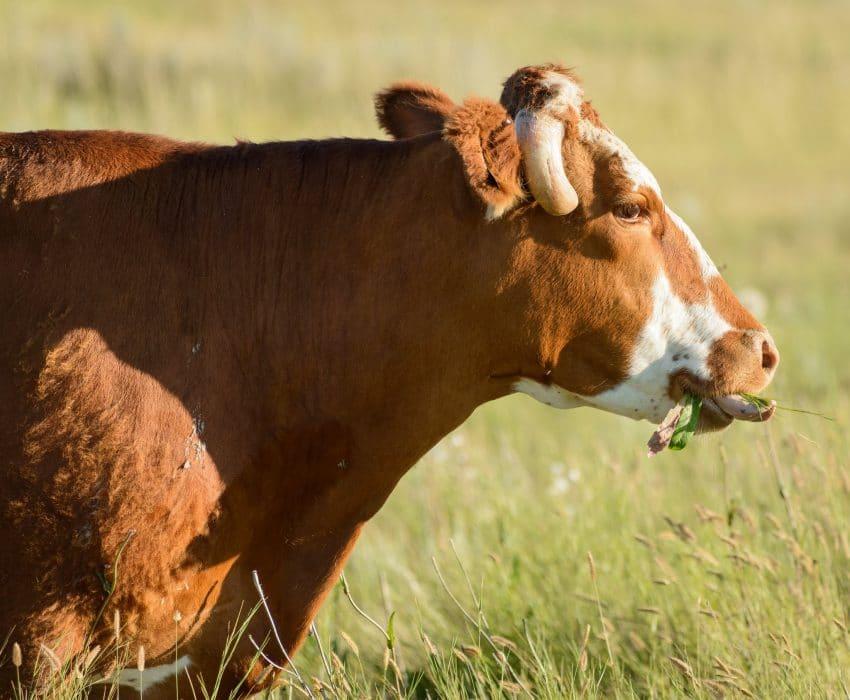 Alberta Visit Aug 2012 : Cow Tongue