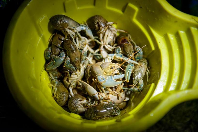 Alberta Visit Aug 2012 : Live Crayfish at Newell Lake
