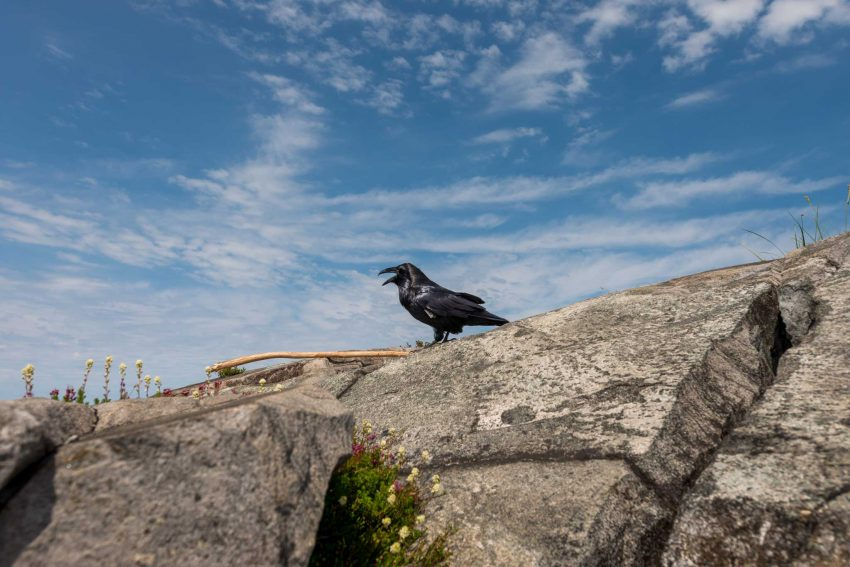 Lions Binkert Trail Hike Vancouver - 2012-08-18 : Raven on the lions