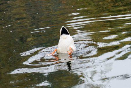 Queen Elizabeth Park, Vancouver, BC : 2012-10-11 : Duck Pond
