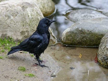 Queen Elizabeth Park, Vancouver, BC : 2012-10-11 : Duck Pond Crow