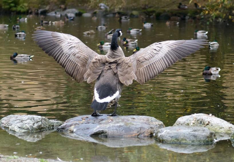 Queen Elizabeth Park, Vancouver, BC : 2012-10-11 : Canada Goose