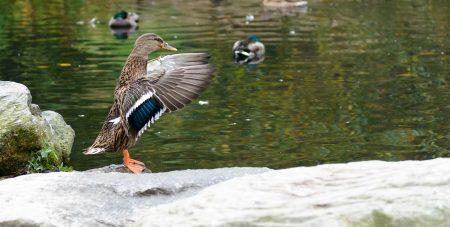 Queen Elizabeth Park, Vancouver, BC : 2012-10-11 : Mallard Duck