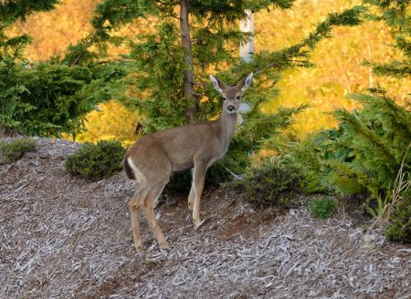 Ucluelet BC Vacation : 2012-10 : Deer