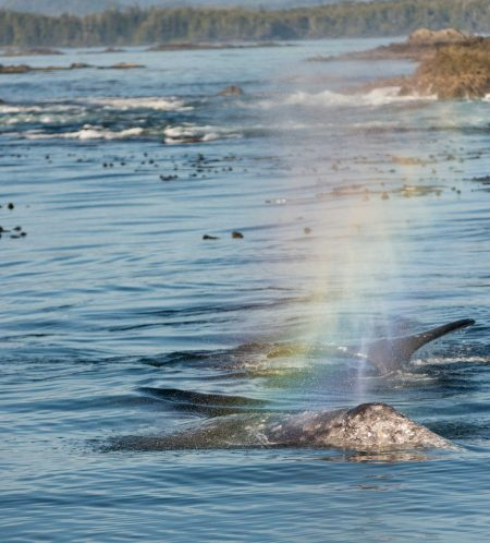 Ucluelet BC Vacation : 2012-10 : Gray Whale Rainbow