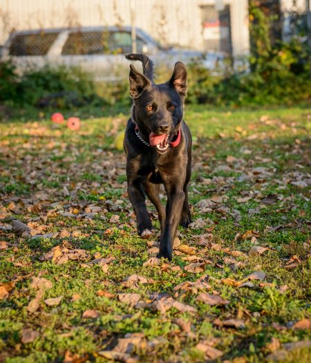 Vancouver Animal Control : Shelter Dogs For Adoption : 2012-11-09