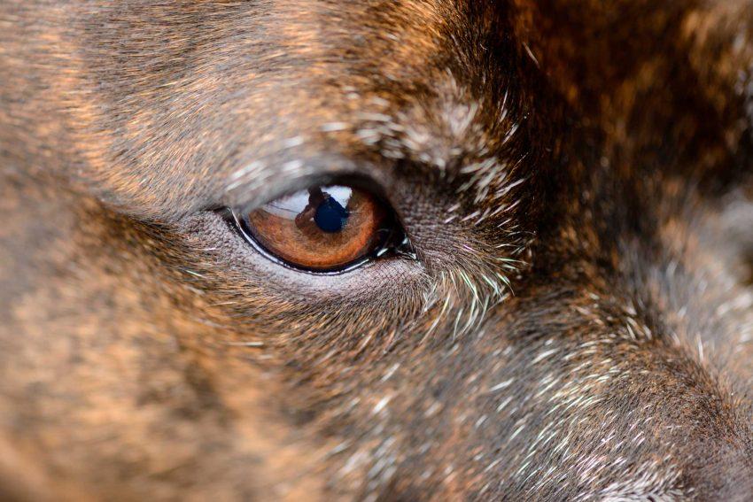 Nikon D800 Macro - Nikkor 105mm f/2.8 VR Micro - 2012-11-27 : Jammie eye closeup