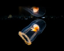 Photo: Baby Jellyfish