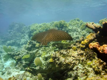 2012-12-01 : Belize Vacation : Coco Plum Island Resort : Spotted Eagle Ray Over The Coral Reef