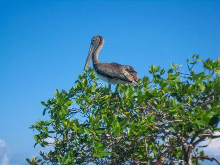 2012-12-02 : Belize Vacation : Coco Plum Island Resort : Pelican Unhappy With Us