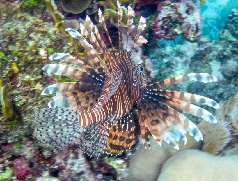 2012-12-03 : Belize Vacation : Coco Plum Island Resort : Pterois Lionfish