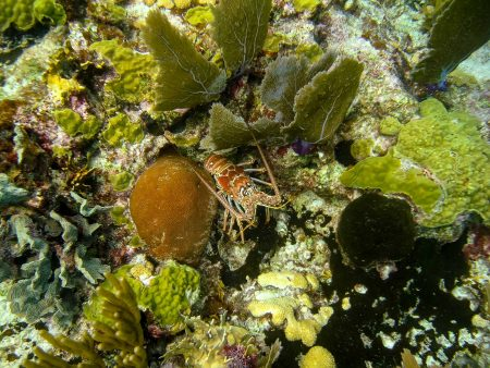 2012-12-03 : Belize Vacation : Coco Plum Island Resort : Lobster on the Reef
