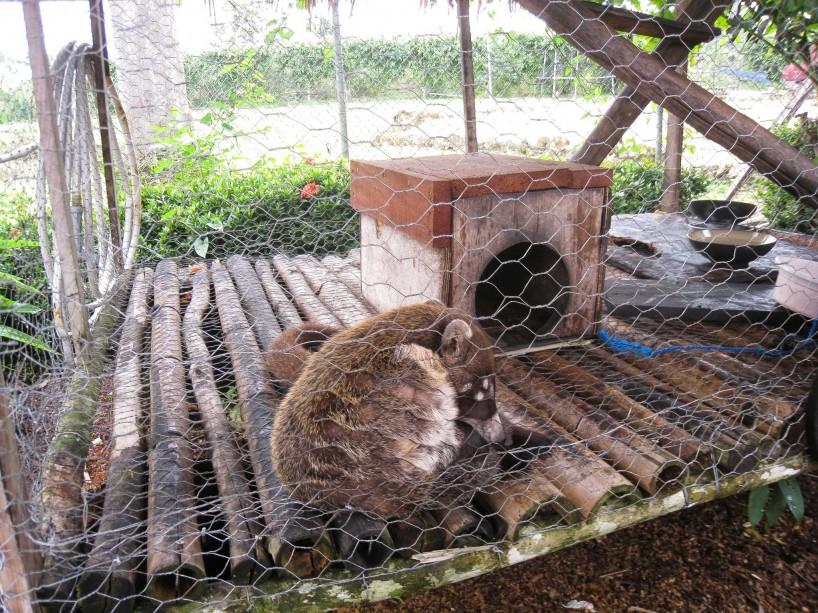 2012-12-04 : Belize Vacation : Inland Tour : Coatimundi