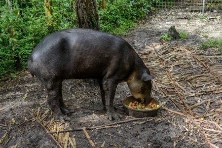 2012-12-04 : Belize Vacation : Coco Plum Island Resort : Tapir