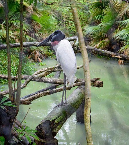 2012-12-05 : Belize Vacation : Jaribou Stork at Belize Zoo