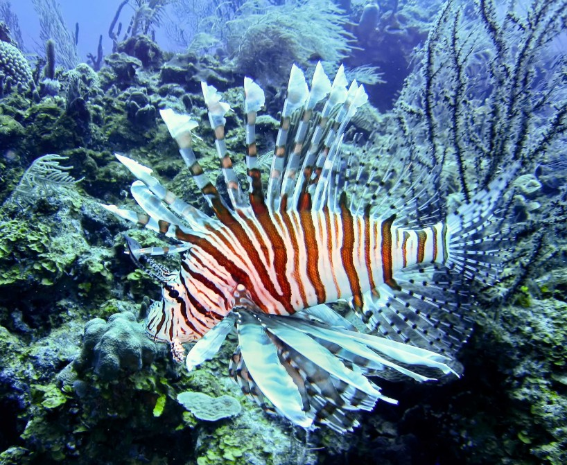 2012-12-05 : Belize Vacation : Scuba Diving : Pterois Lionfish