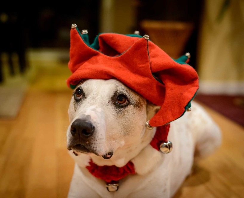 Cedric Christmas 2012 - Dogs dressed up for the holidays