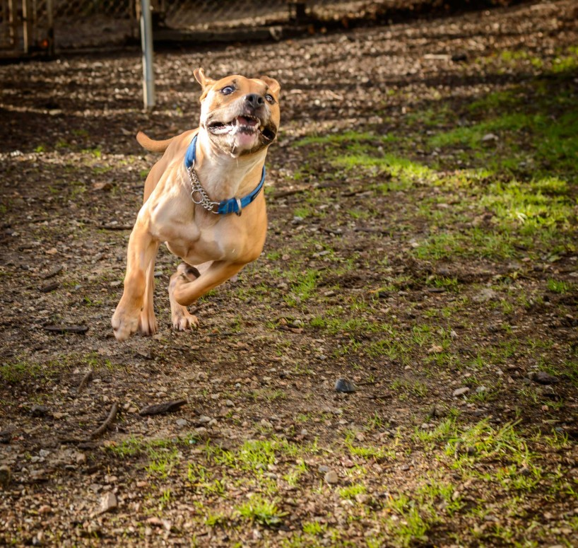 Shelter Dogs Vancouver: 2013-02-22 : Young Pit Bull Running