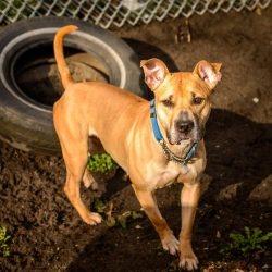Shelter Dogs Vancouver: 2013-02-22 : Young Pit Bull