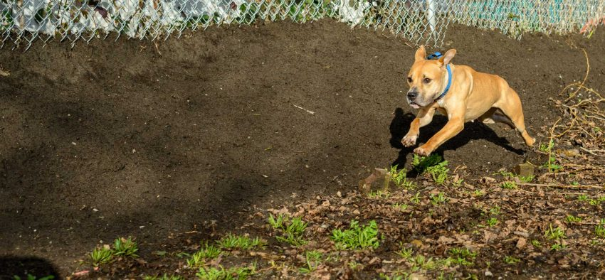 Shelter Dogs Vancouver: 2013-02-22 : Young Pit Bull Zoomies