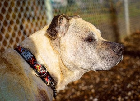 Shelter Dogs Vancouver: 2013-02-22 : Old Pit Bull