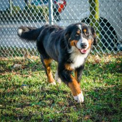 Shelter Dogs Vancouver: 2013-02-22 : Bernese Mountain Dog