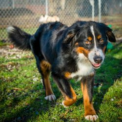 Shelter Dogs Vancouver: 2013-02-22 : Bernese Mountain Dog 2
