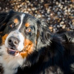 Shelter Dogs Vancouver: 2013-02-22 : Bernese Mountain Dog Head Shot