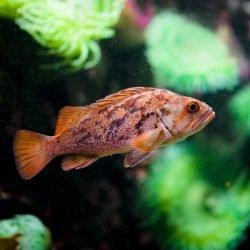 2013-02-20 : Vancouver Aquarium : Rockfish