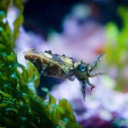 2013-02-20 : Vancouver Aquarium : Cuttlefish 2