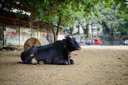 2012 Oct : Mumbai India Visit : Cow