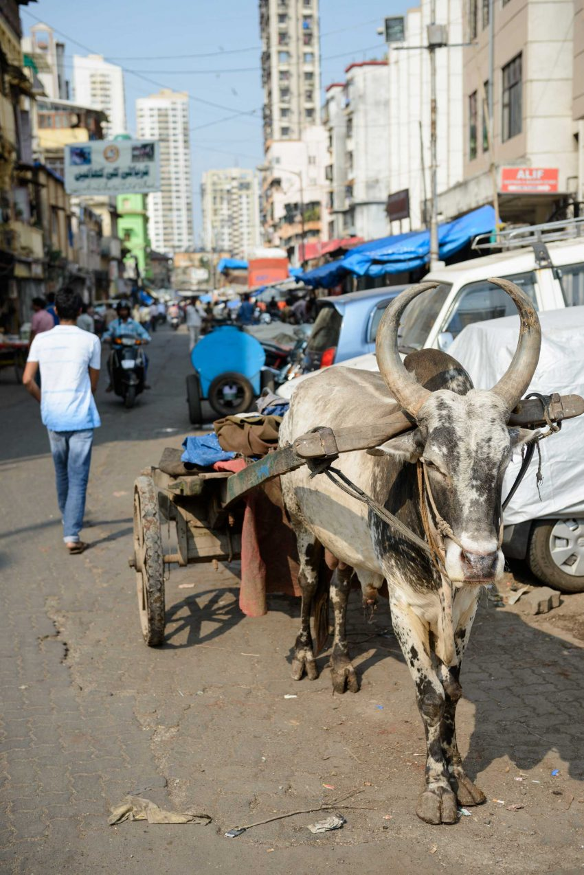 2012 Oct : Mumbai India Visit : Ox Cart