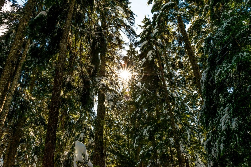 Cypress Mountain Snowshoeing 2014-03-20: Snow On Trees and Sun